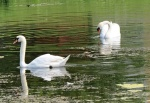swan couple - featured
