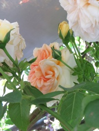 alcove roses