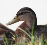 palace duck