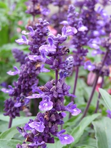 purple beauties