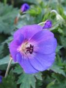 small purple