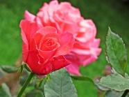 gdansk rose