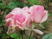 Palace roses