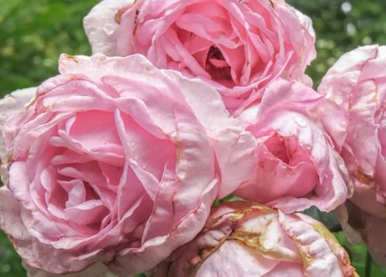 summer's last roses