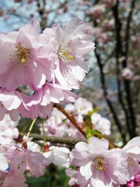 landskrona sakura