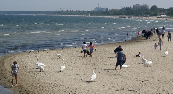 swan beach life