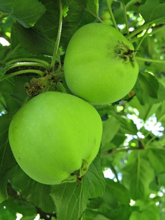 green small apples