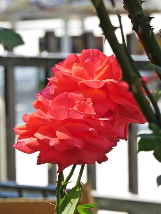 blv roses