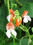 garden - beanflowers