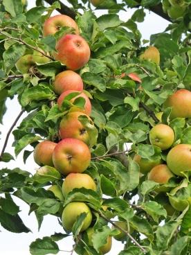 garden - plenty apples
