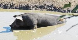 pig mud bath