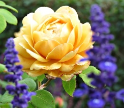 roses - blue & yellow
