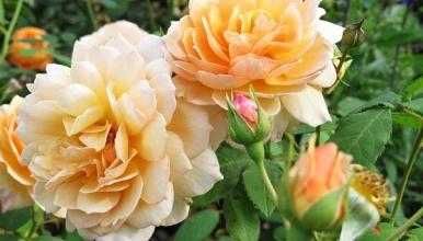 roses - lovely shade
