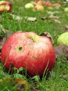 fallen-apple