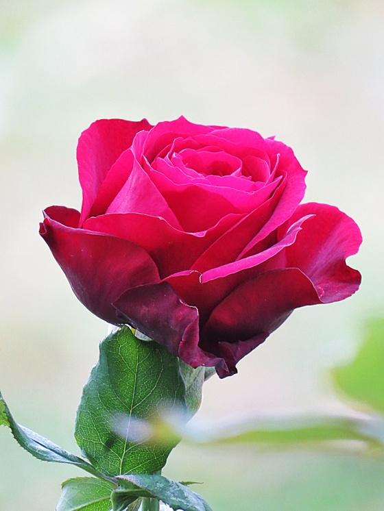 blue-mosque-garden-rose