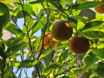 under-and-orange-tree