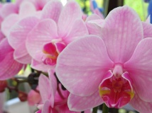 orchid 18