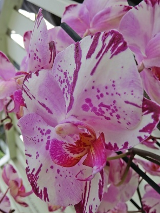 orchid 20