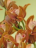 orchid 21