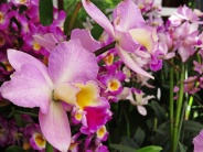 orchid 27