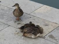 aveiro - duck girls