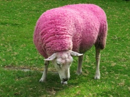 pink sheep - featured