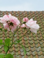 roses and roof