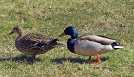 cafe & castle duck couple
