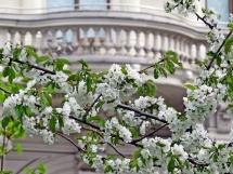 vienna blossom