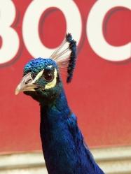 pc - peacock