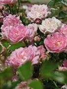 pc - roses 1