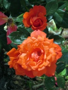 pc - roses 2