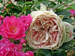 pc - roses 3
