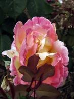 pc - roses 5