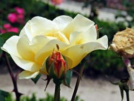 pc - roses 7