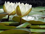 pc - water lilies