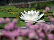 pc - water lily 2