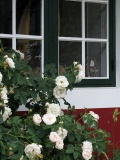roses and window