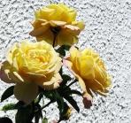 Båstad roses