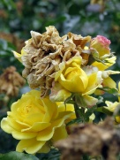 yellow beauties