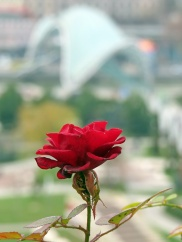 rose with a view