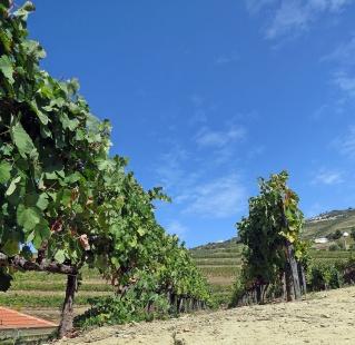 vine yard 4