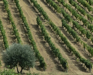 vinestocks - featured